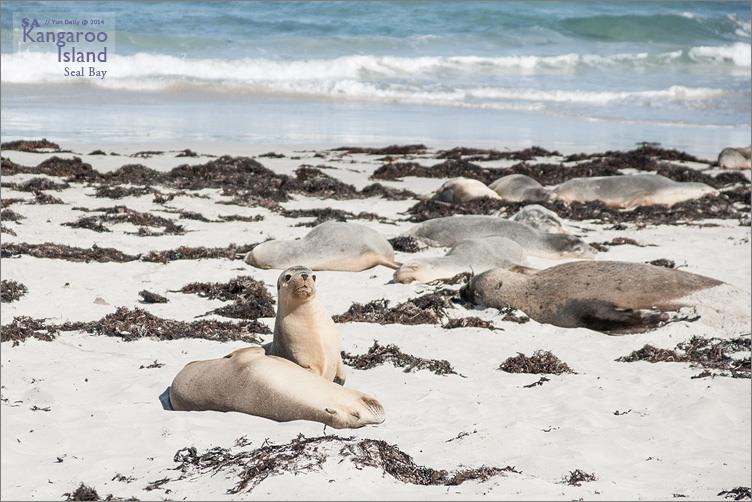 袋鼠島自由行︱遠離喧囂的美麗島嶼~Kangaroo Island.三天三夜行程記錄