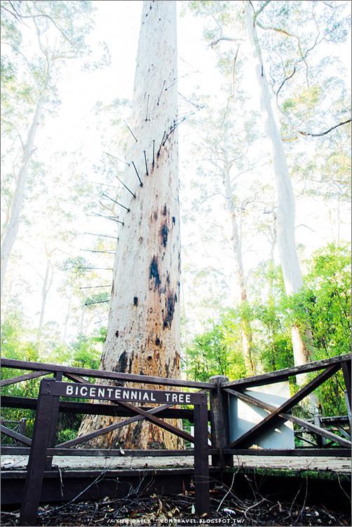 西澳自由行︱挑戰極限、登上最高樹梯吧~The Dave Evans Bicentennial Tree