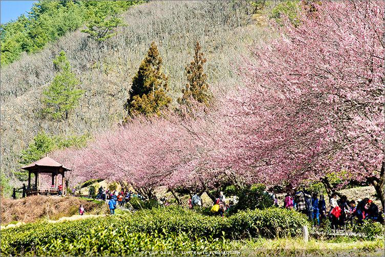 和平鄉旅遊︱2015武陵農場櫻花季~花期未滿、失落的旅人心。