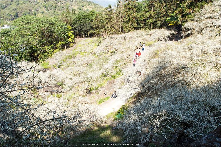 信義鄉旅遊︱感覺沒來過就像是沒賞過梅~烏松崙梅園