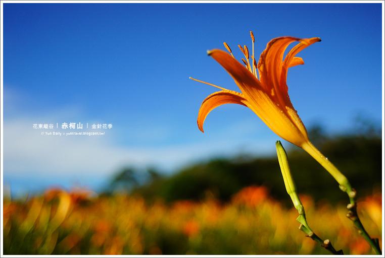 玉里旅遊︱相約下一季的花期吧~赤柯山金針花季。