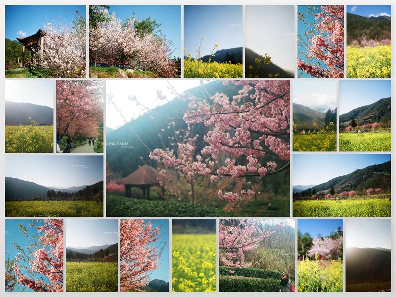 底片︱意外與驚喜的旅程.武陵農場.櫻之旅