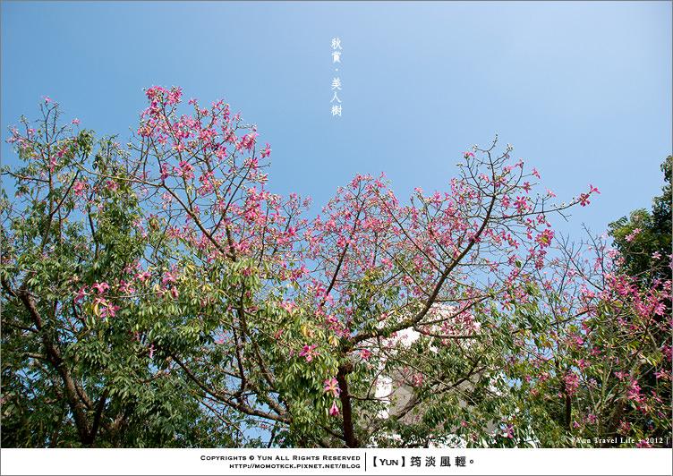 攝影︱秋季限定.粉紅戀曲~湛藍晴空下的美人樹