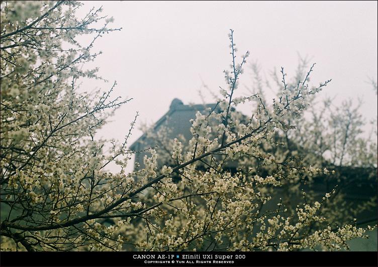 底片︱Canon AE-1P.冬梅的日系氛圍