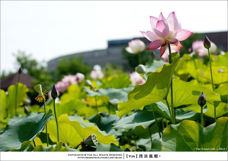 霧峰旅遊︱台中霧峰.初夏的亞洲大學.絕美蓮花盛開