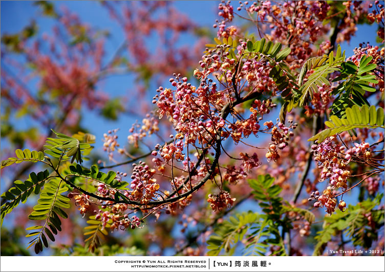 攝影︱慢遊中.發現鄉間驚豔粉紅行道樹花~爪哇旃那
