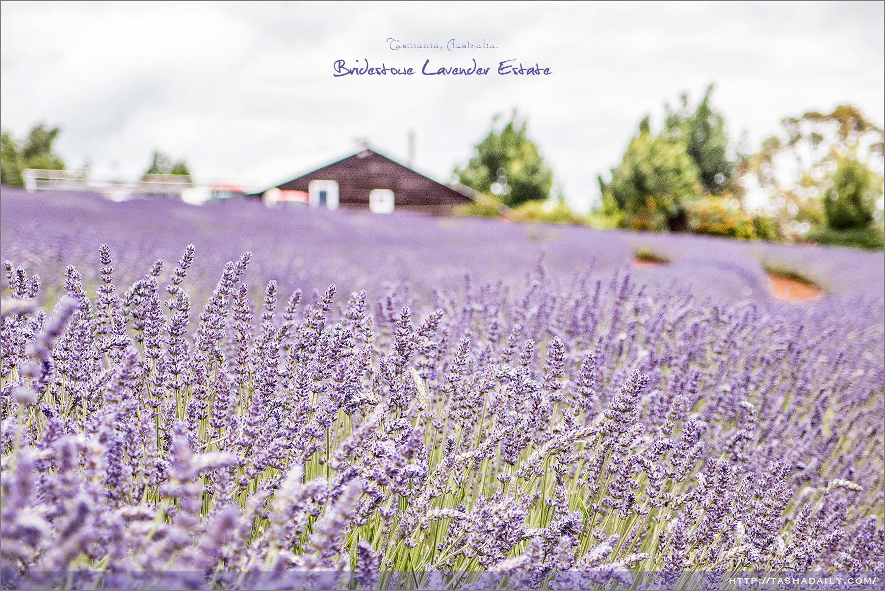 塔斯自由行︱Bridestowe Lavender Estate.南半球最大薰衣草園