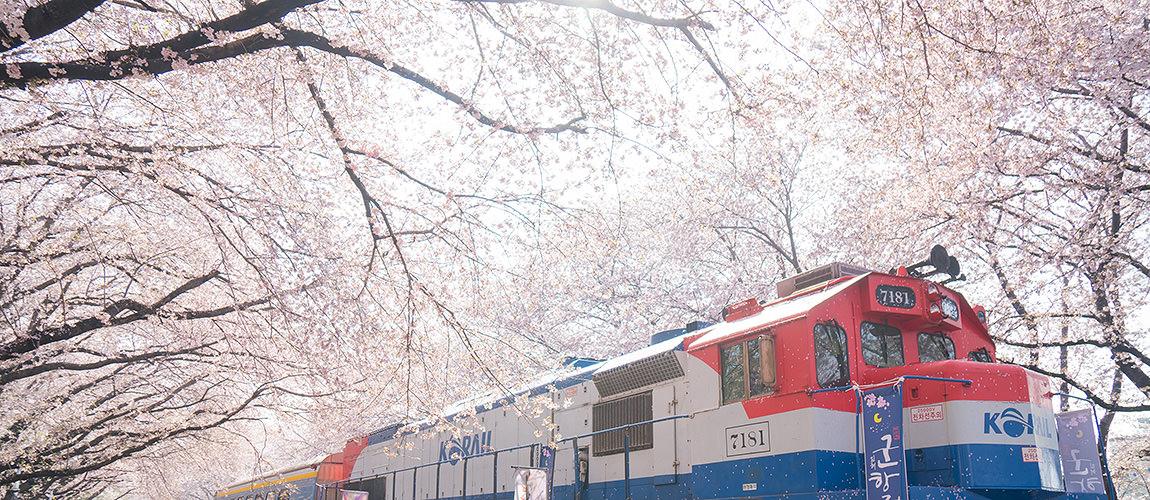 2017釜山自由行.鎮海櫻花季