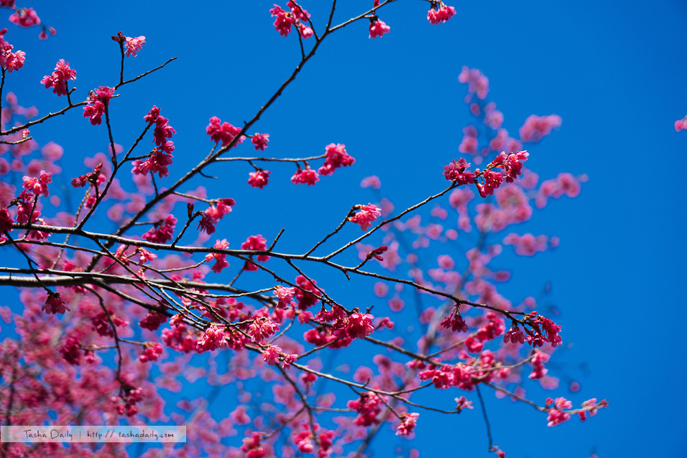 協雲宮櫻花季