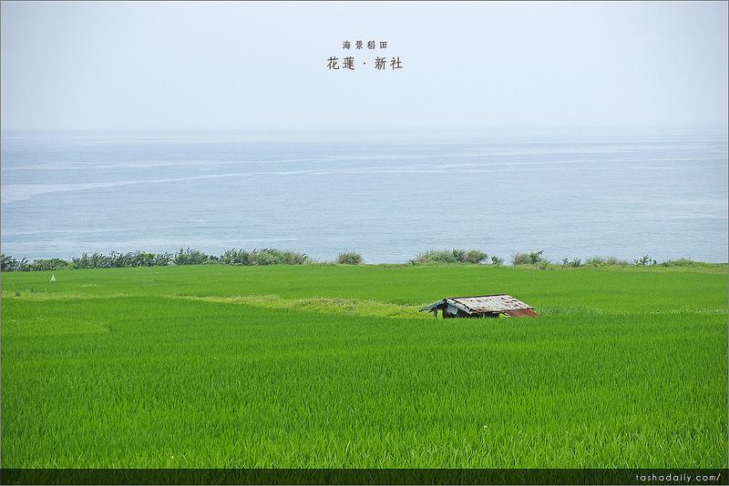 花蓮旅遊 ︱新社稻海梯田、湛藍海洋 ,獨有的海岸梯田