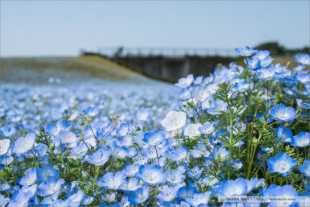 福岡自由行︱海の中道海浜公園.夢幻粉藍花海、飛舞的琉璃唐草