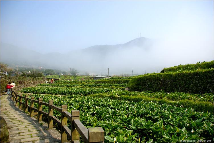 台北,北投.︱2011台北花季.竹子湖海芋季