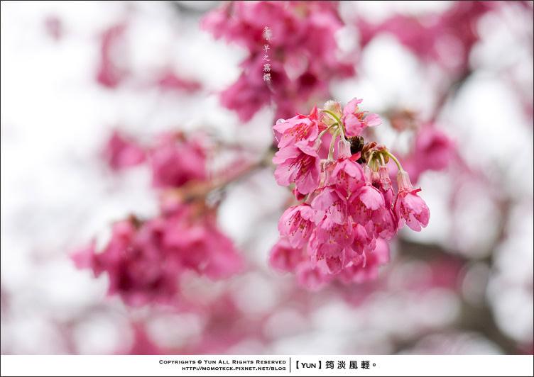 信義櫻花季︱南投信義.2012賞櫻開跑~草坪頭櫻雨紛飛.陰霧篇