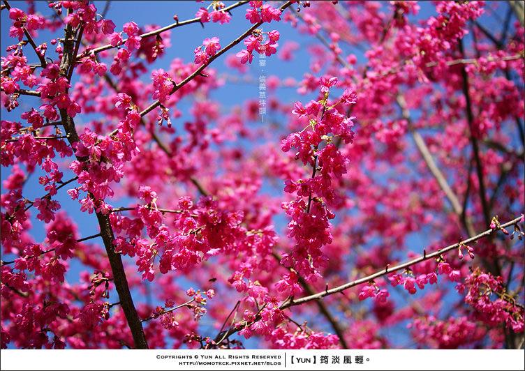 信義櫻花季︱南投信義.2012中部櫻花季.草坪頭櫻滿盛宴