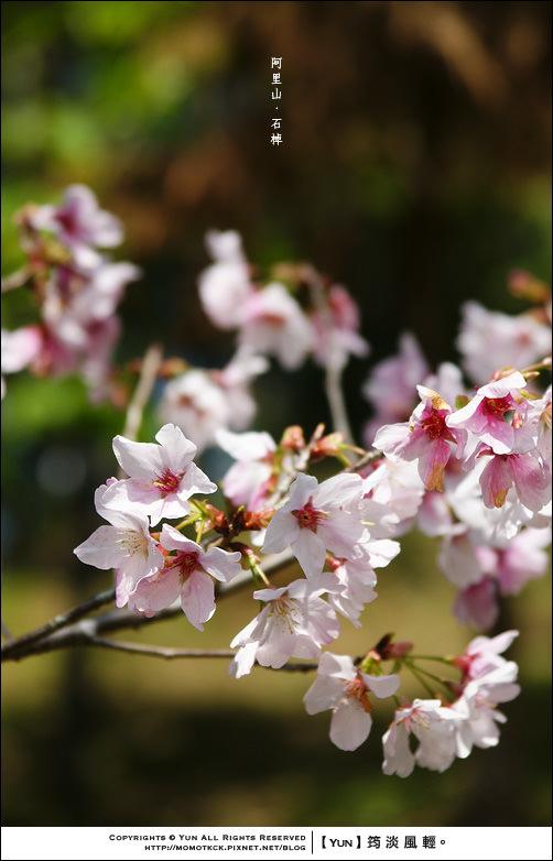 石棹櫻花祕境