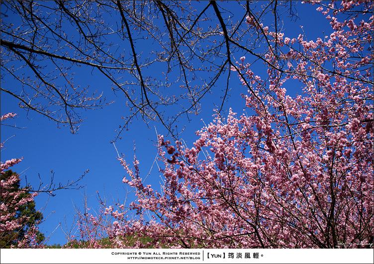 武陵櫻花季