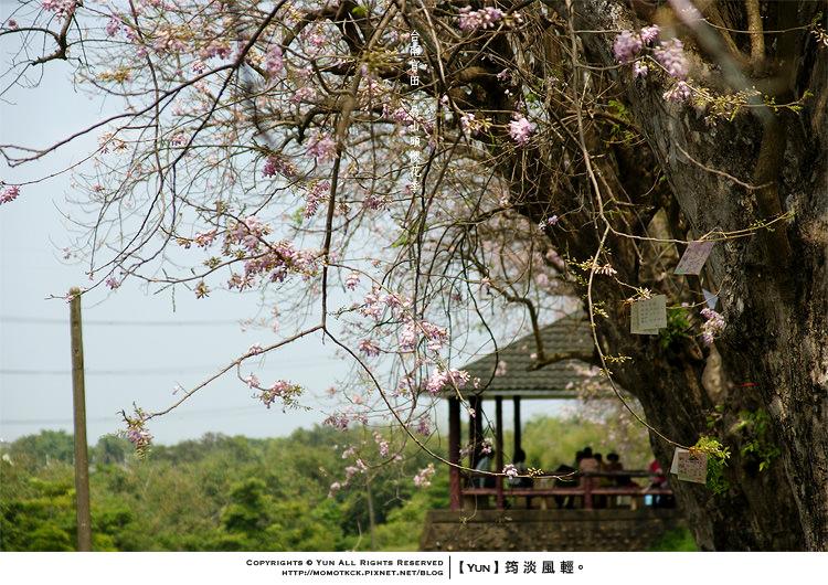 旅行︱台南官田.烏山頭水庫最特別的櫻花~南洋櫻花季開跑
