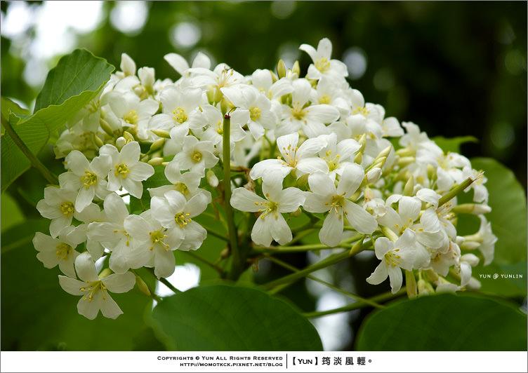 荷苞山桐花祭